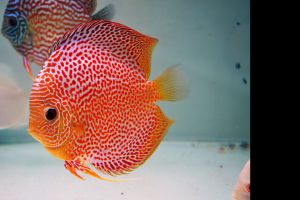 animals aquarium discus fish fish