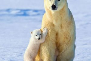 animals baby animals polar bears