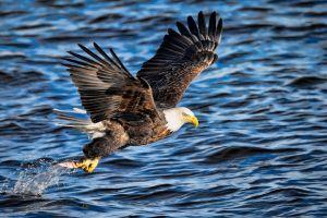 animals bald eagle eagle birds