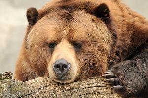 animals bears mammals