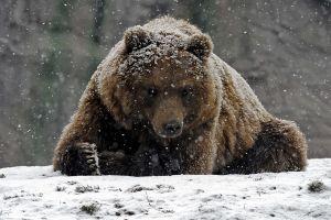 animals bears snow mammals