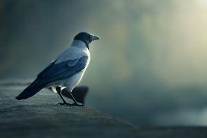 animals birds crow