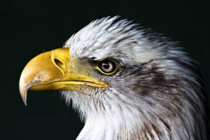 animals birds eagle closeup nature