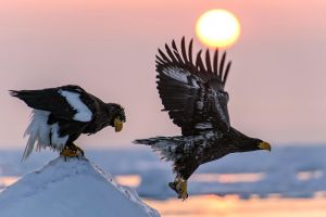animals birds eagle