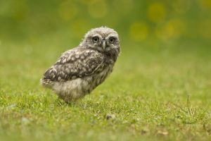 animals birds grass side view looking at viewer owl