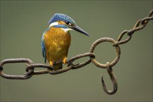 animals birds kingfisher