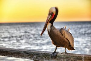 animals birds nature pelicans
