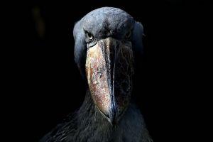 animals birds shoebill