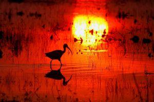 animals birds silhouette