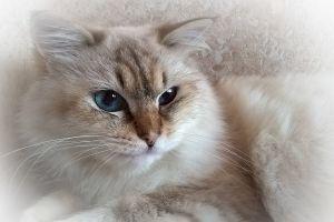 animals blue eyes cats