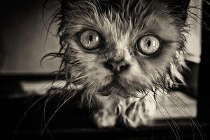 animals cats sepia wet eyes