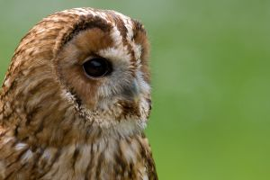 animals dark eyes owl birds