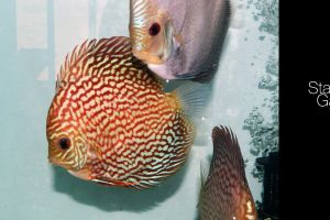 animals discus fish aquarium