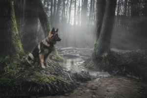 animals dog german shepherd forest moss