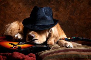 animals dog hat guitar video games golden retrievers guitar hero