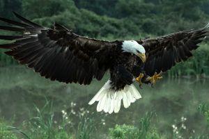 animals eagle bald eagle attack birds