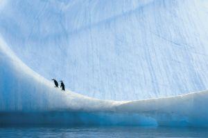 animals landscape penguins
