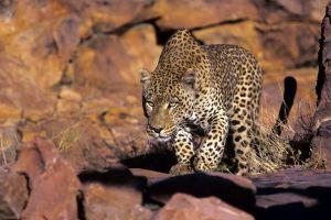 animals leopard (animal) leopard wildlife nature