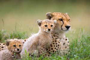 animals mammals cheetah baby animals