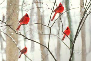 animals nature cardinals birds