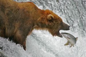 animals nature fish bears