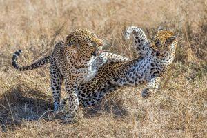 animals nature leopard (animal) leopard