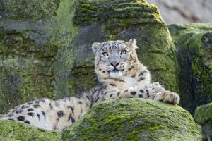 animals nature wildlife wild cat