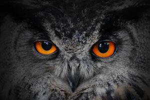 animals owl orange eyes nature