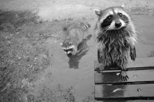 animals raccoons monochrome