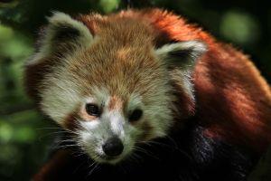 animals red panda nature