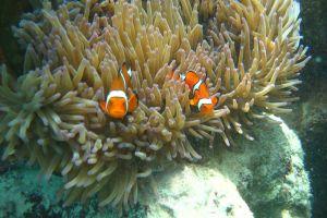 animals sea life sea clownfish