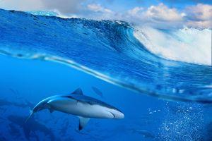 animals sea shark waves
