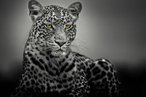 animals selective coloring leopard (animal)