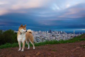 animals shiba inu dog outdoors