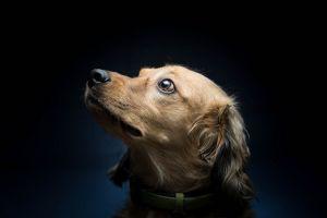 animals simple background dog pet