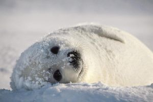 animals snow seals