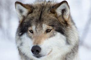 animals snow wolf