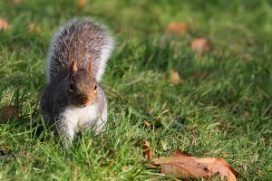 animals squirrel grass
