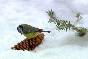 animals titmouse birds snow