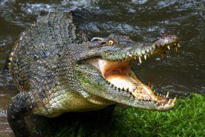 animals water crocodiles reptiles