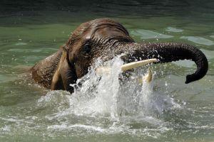 animals water elephant