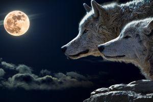 animals wolf moon
