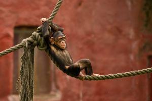 apes animals mammals