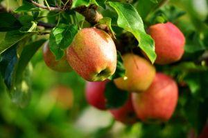 apples plants macro