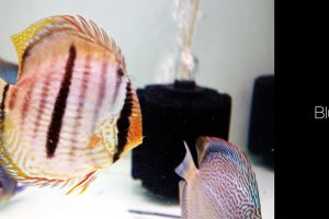 aquarium discus fish animals