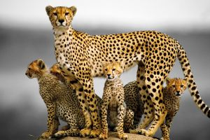 baby animals animals cheetah cubs