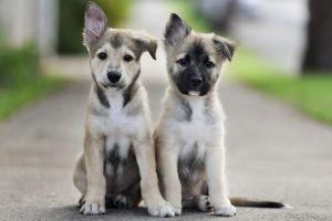 baby animals animals depth of field dog puppies