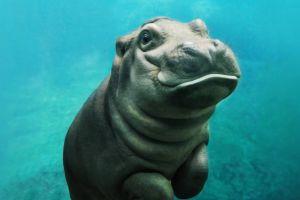 baby animals animals hippos mammals
