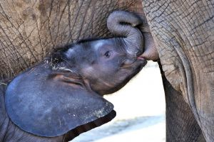 baby animals animals milk elephant