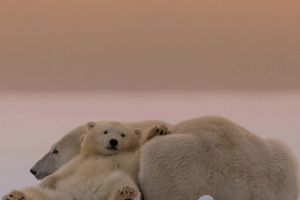 baby animals animals polar bears